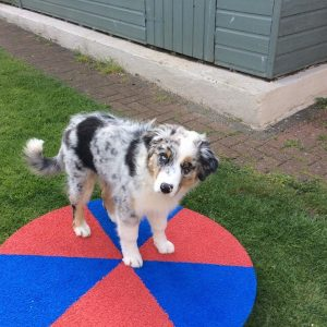 A happy aussie shepherd enjoying his new Pawsonit wobbly